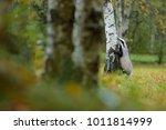 badger in forest  animal nature ... | Shutterstock . vector #1011814999