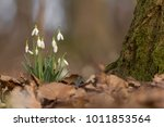 snowdrop in the woods ... | Shutterstock . vector #1011853564