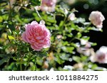 beautiful pink rose from the...   Shutterstock . vector #1011884275