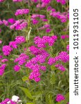 Small photo of Pink blooming Yarrow flowers in a border (Achillea millefolium Cerise Queen)