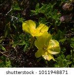 Camissoniopsis Cheiranthifolia...