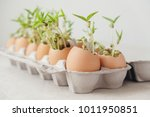seedling plants in eggshells ... | Shutterstock . vector #1011950851