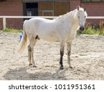 beautiful white horse look... | Shutterstock . vector #1011951361