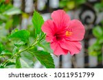 bright red flower of hibiscus ... | Shutterstock . vector #1011951799