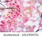 wild himalayan cherry flower ... | Shutterstock . vector #1011954751
