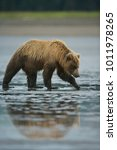 Small photo of Grizzly Bear (Ursus arctos horribilis) looking for clams on a beach at low tide, Lake Clark NP, Cook Inlet, Alaska