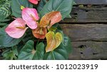 Red And Pink Anthurium Flower...