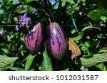 ripe purple aubergine growing... | Shutterstock . vector #1012031587