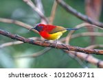 Small photo of Mrs Gould's sunbird Aethopyga gouldiae Beautiful Male Birds of Thailand