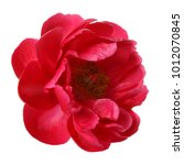 Stock photo red peony flower isolated on white background 1012070845