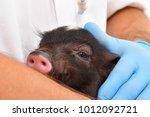little cute vietnamese pig on... | Shutterstock . vector #1012092721