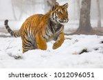 siberian tiger on snow in... | Shutterstock . vector #1012096051