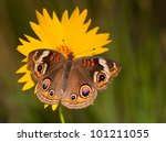 Colorful Common Buckeye...