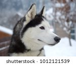 husky dog in winter | Shutterstock . vector #1012121539