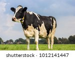 dutch holstein black and white... | Shutterstock . vector #1012141447