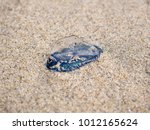 By The Wind Velella Velella...