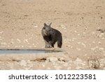 elusive and rare brown hyena | Shutterstock . vector #1012223581