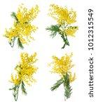 Stock photo mimosa flowers set isolated on white 1012315549