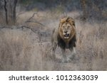 Small photo of A horizontal, full length, colour photo of a large male lion, Panthera leo, walking through a drought-ridden landscape towards the camera in the Greater Kruger Transfrontier Park, South Africa.