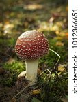 Small photo of Amanita muscaria growing in the autumn forest