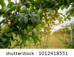 organic avocado plantation on... | Shutterstock . vector #1012418551