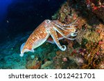 mating cuttlefish at sunrise on ... | Shutterstock . vector #1012421701
