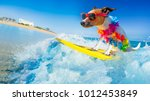 jack russell dog surfing on a... | Shutterstock . vector #1012453849