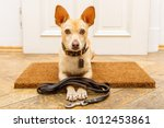Stock photo podenco dog waiting for owner to play and go for a walk on door mat behind home door entrance 1012453861