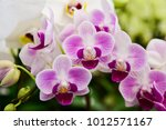 pink phalaenopsis or moth...   Shutterstock . vector #1012571167