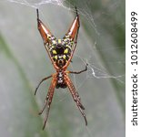 Small photo of Spiny Bodied Spider (Micrathena breviceps) funny little orb-weaver spider from Costa Rica