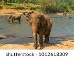 elephant  in river stream  sri... | Shutterstock . vector #1012618309