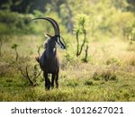 Proud Male Sable Antelope In...