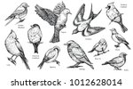 Stock vector bird species hand drawn set vector isolated flying pigeon swallow sparrow robin starling blue 1012628014