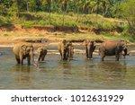 elephant proboscis orphanage in ... | Shutterstock . vector #1012631929
