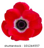 Beautiful Red Anemone Flower On ...