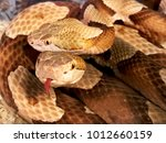 Two Venomous Copper Head Snake...