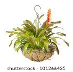Small photo of Close up of a beautiful blooming bromeliad or airplant isolated on white