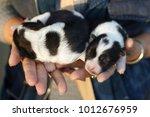 thai bangkaew dog   puppy... | Shutterstock . vector #1012676959