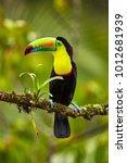 portrait of keel billed toucan  ... | Shutterstock . vector #1012681939