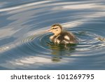 A Duckling Or Gosling Swimming...