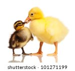 Cute domestic duckling and gosling isolated on white background - stock photo