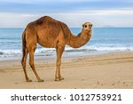 camel facing camera on tunisian ... | Shutterstock . vector #1012753921