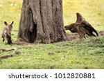 tawny eagle charging a bat... | Shutterstock . vector #1012820881