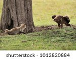tawny eagle and a bat eared fox ... | Shutterstock . vector #1012820884