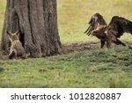 tawny eagle rushing towards a... | Shutterstock . vector #1012820887