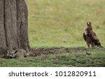 tawny eagle slowly moving near... | Shutterstock . vector #1012820911