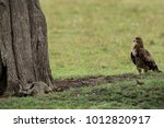 tawny eagle observing a bat... | Shutterstock . vector #1012820917