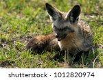 closeup of a half blind bat... | Shutterstock . vector #1012820974
