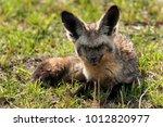 bat eared fox  masai mara | Shutterstock . vector #1012820977