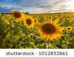 field of blooming sunflowers in ... | Shutterstock . vector #1012852861
